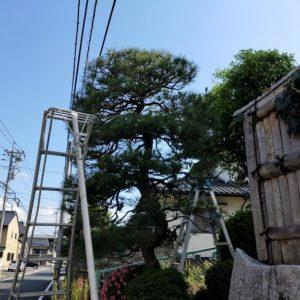 松の芽摘み